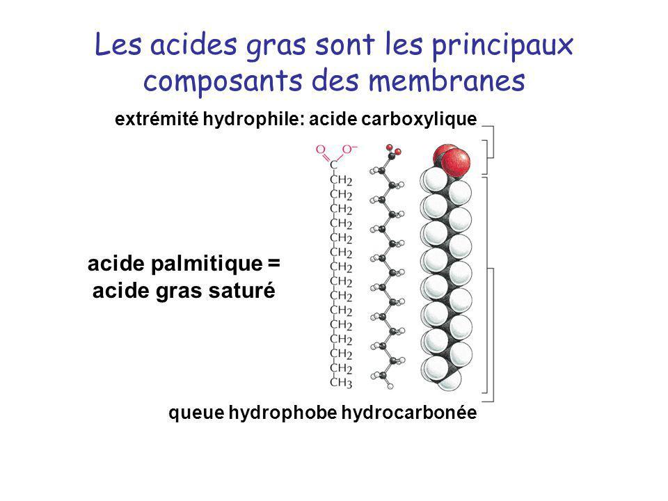 Les acides gras sont les principaux composants des membranes extrémité hydrophile: acide carboxylique queue hydrophobe hydrocarbonée acide palmitique