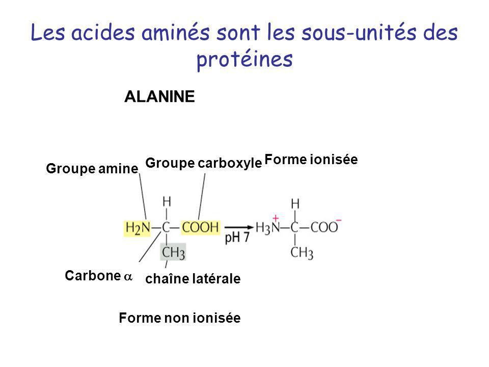 Les acides aminés sont les sous-unités des protéines Groupe amine Groupe carboxyle Forme non ionisée Forme ionisée Carbone chaîne latérale ALANINE