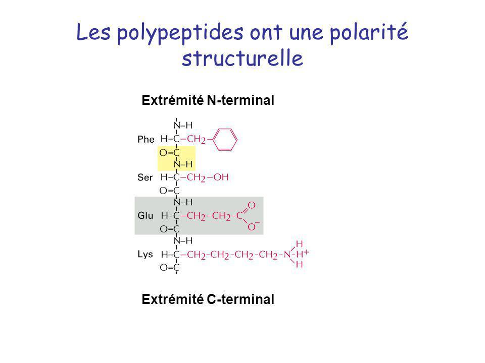 Les polypeptides ont une polarité structurelle Extrémité N-terminal Extrémité C-terminal