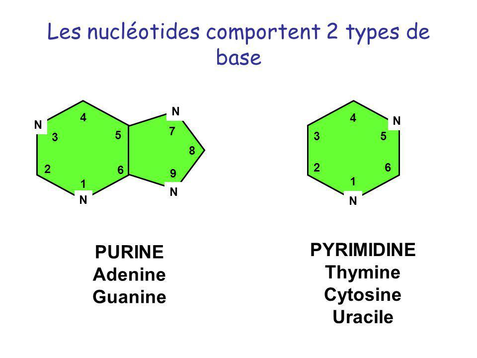 Les nucléotides comportent 2 types de base 1 2 3 4 5 6 N N 7 8 9 N N PURINE Adenine Guanine N 1 2 3 4 5 6 N PYRIMIDINE Thymine Cytosine Uracile