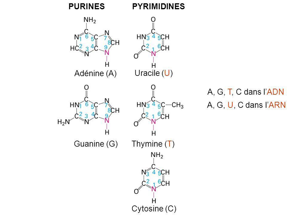 PURINESPYRIMIDINES Adénine (A) Uracile (U) Guanine (G) Thymine (T) Cytosine (C) A, G, T, C dans lADN A, G, U, C dans lARN