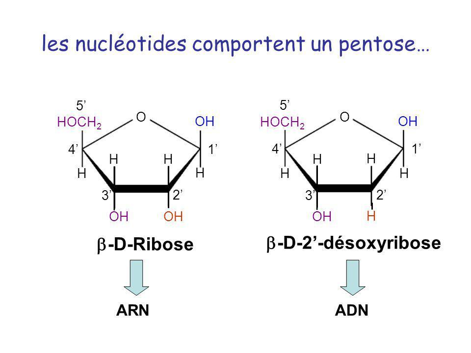 H H HOCH 2 H H O OH H 1 2 3 4 5 -D-2-désoxyribose H H HOCH 2 H H O OH 1 2 3 4 5 -D-Ribose les nucléotides comportent un pentose… ARNADN