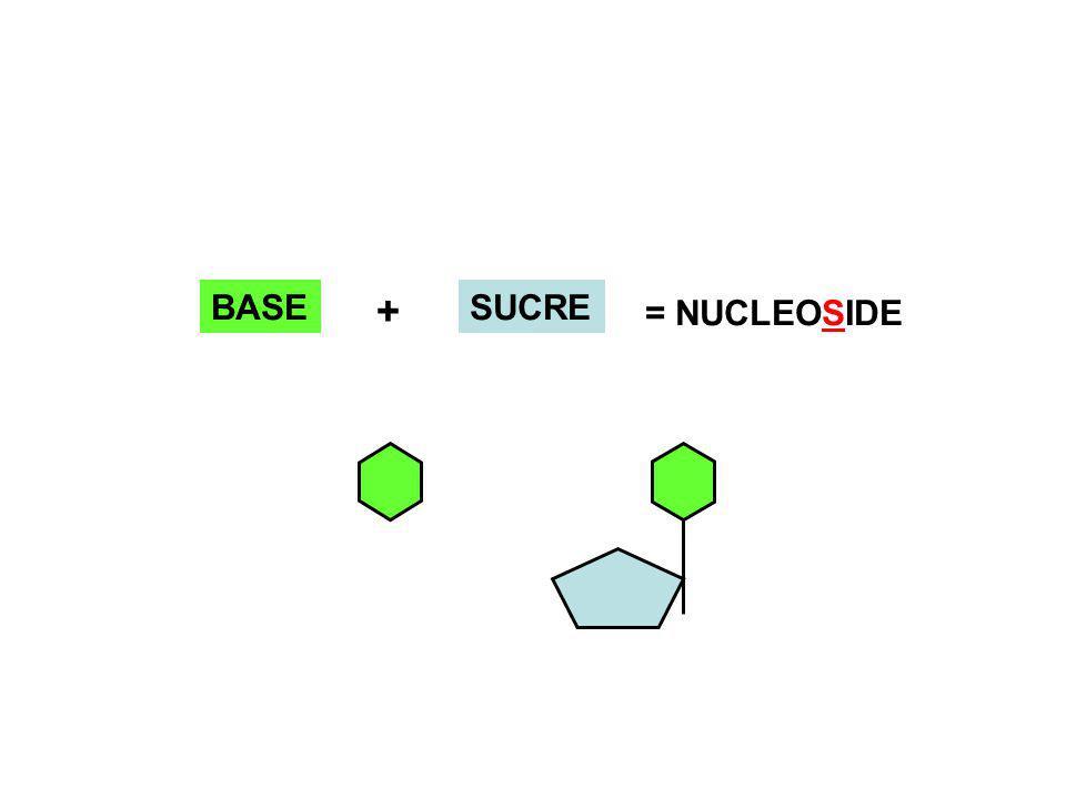 BASESUCRE + = NUCLEOSIDE