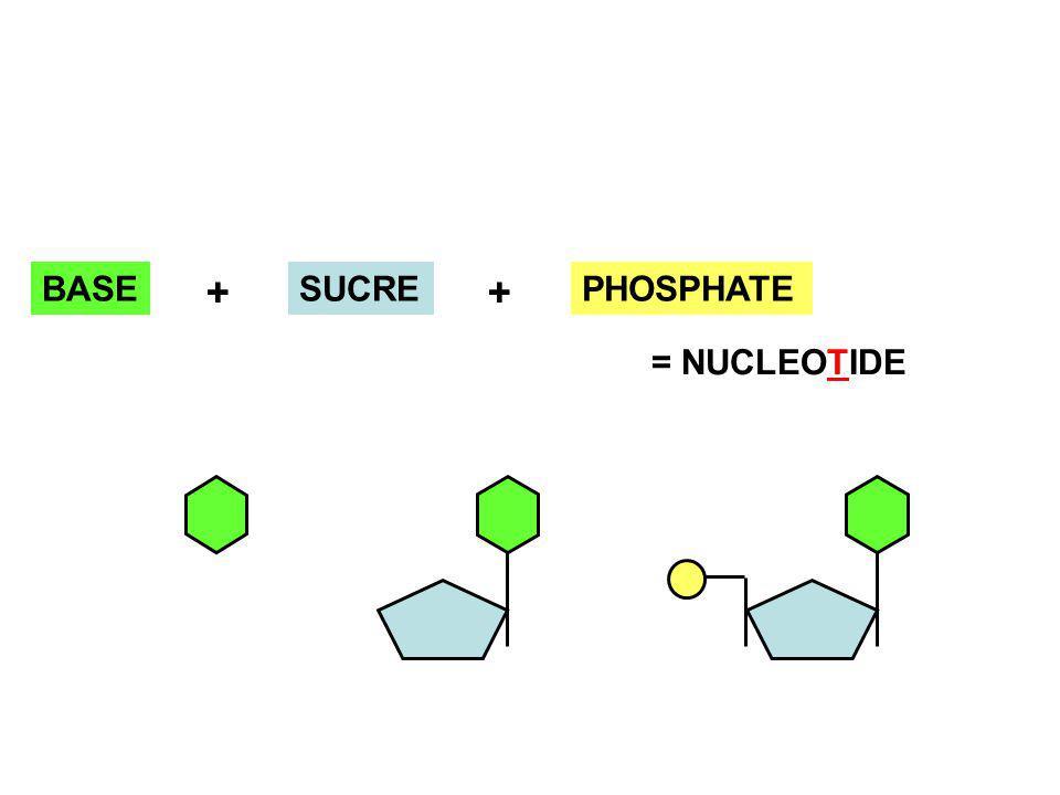 PHOSPHATEBASESUCRE + + = NUCLEOTIDE