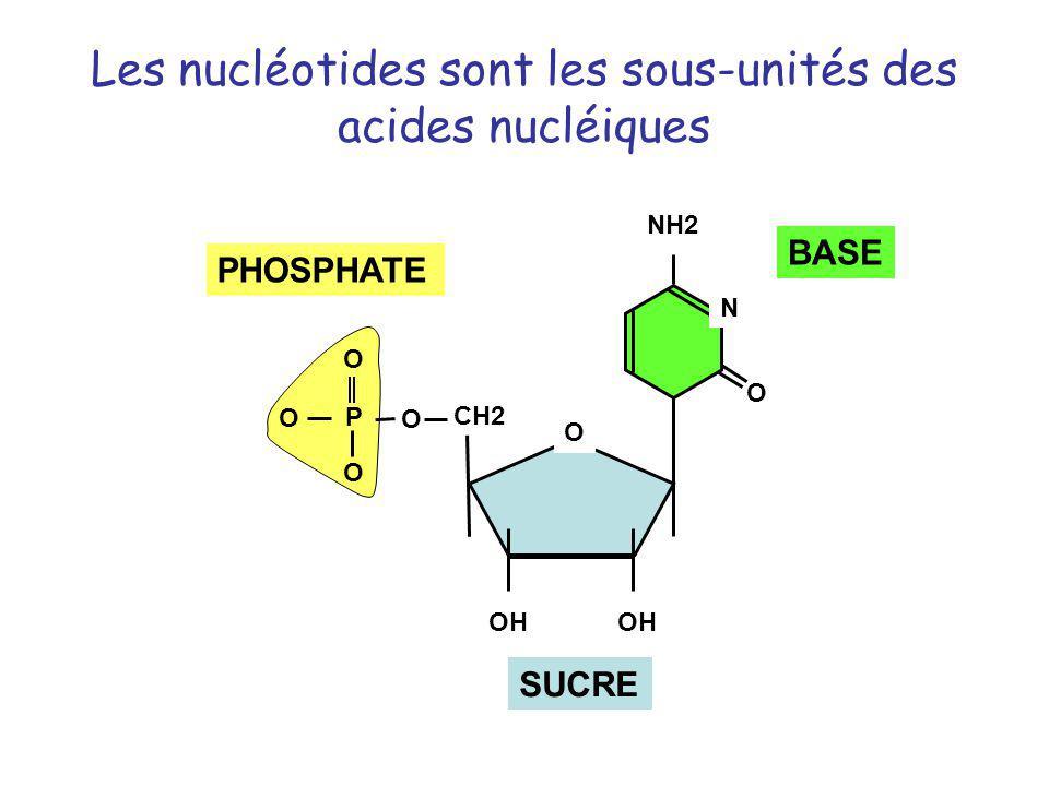 Les nucléotides sont les sous-unités des acides nucléiques CH2 OH O NH2 O O O O P O N SUCRE BASE PHOSPHATE