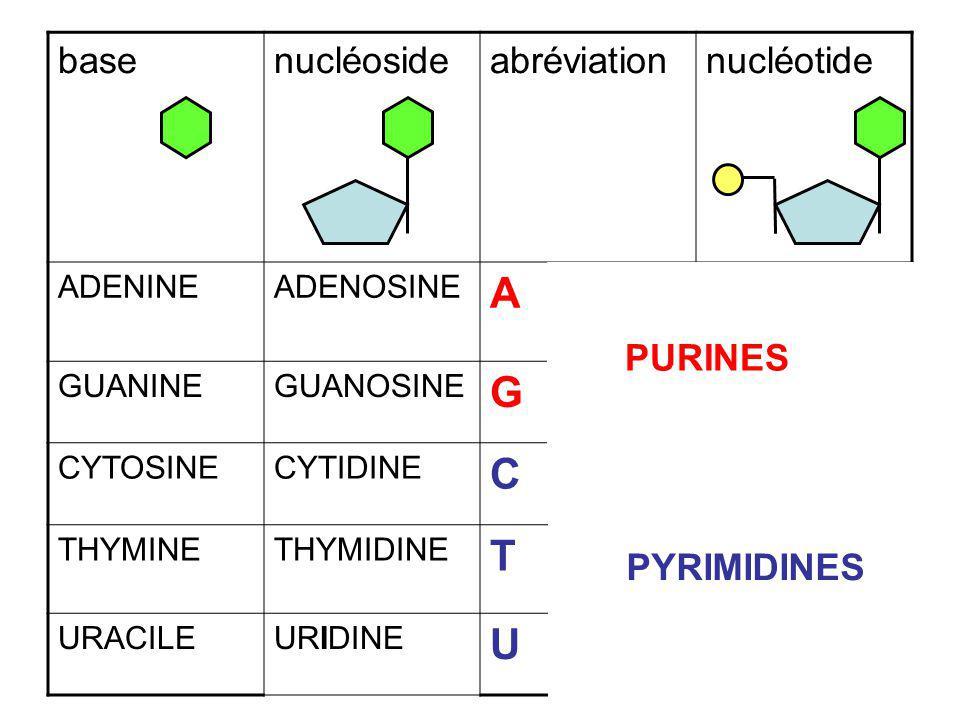 basenucléosideabréviationnucléotide ADENINEADENOSINE A AMP, dAMP GUANINEGUANOSINE G GTP CYTOSINECYTIDINE C THYMINETHYMIDINE T URACILEURIDINE U UDP PUR