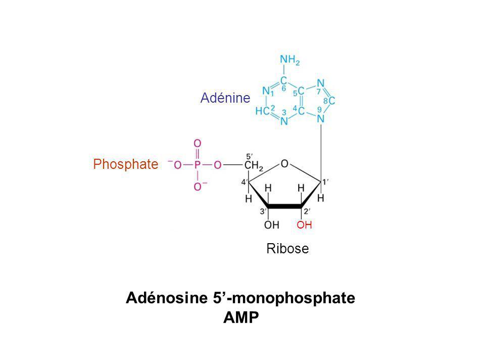 Adénosine 5-monophosphate AMP Adénine Ribose Phosphate OH