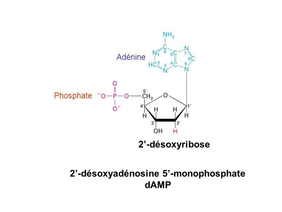 2-désoxyadénosine 5-monophosphate dAMP Adénine 2-désoxyribose Phosphate H