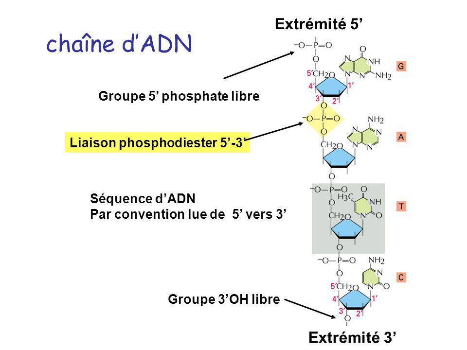 chaîne dADN Séquence dADN Par convention lue de 5 vers 3 Groupe 5 phosphate libre Groupe 3OH libre Extrémité 3 Extrémité 5 Liaison phosphodiester 5-3