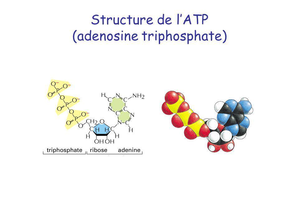 Structure de lATP (adenosine triphosphate)