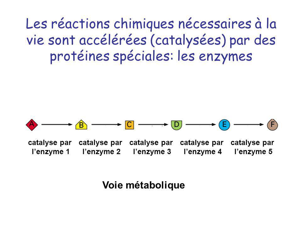 Les réactions chimiques nécessaires à la vie sont accélérées (catalysées) par des protéines spéciales: les enzymes catalyse par lenzyme 1 catalyse par