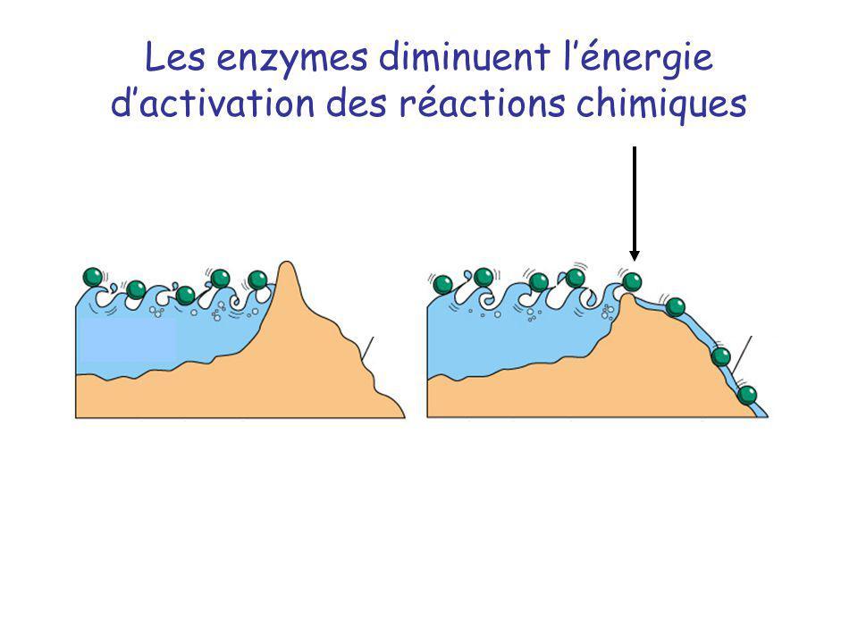 Les enzymes diminuent lénergie dactivation des réactions chimiques