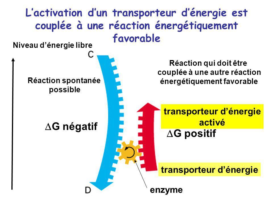 Lactivation dun transporteur dénergie est couplée à une réaction énergétiquement favorable G négatif G positif Réaction spontanée possible Réaction qu