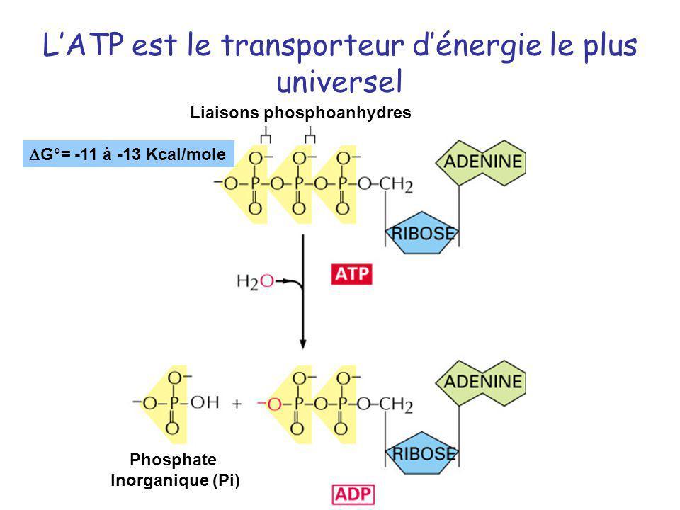 LATP est le transporteur dénergie le plus universel Liaisons phosphoanhydres Phosphate Inorganique (Pi) G°= -11 à -13 Kcal/mole