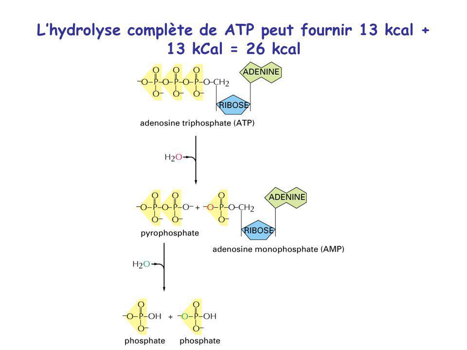 Lhydrolyse complète de ATP peut fournir 13 kcal + 13 kCal = 26 kcal