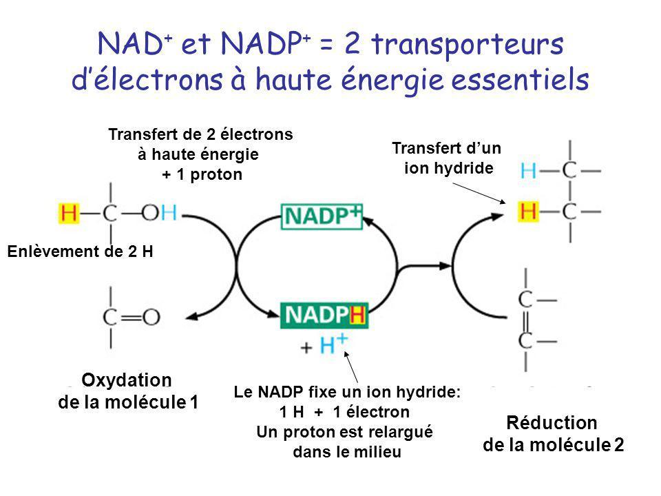 NAD + et NADP + = 2 transporteurs délectrons à haute énergie essentiels Oxydation de la molécule 1 Réduction de la molécule 2 Transfert de 2 électrons