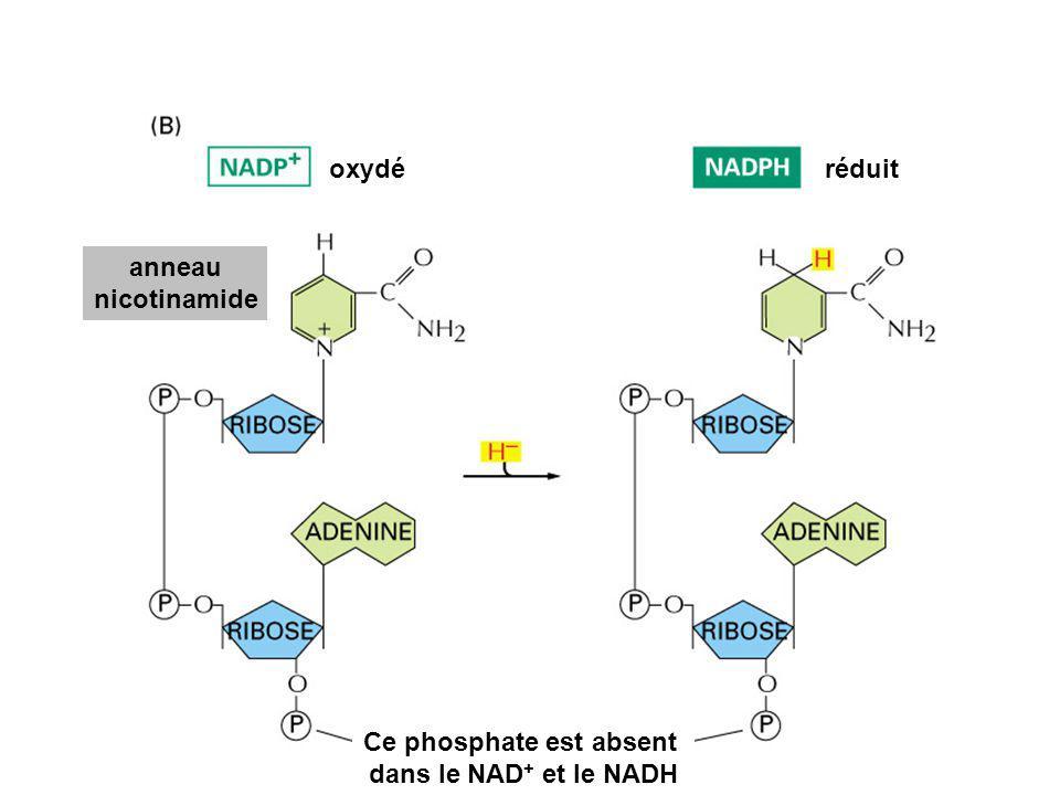 Ce phosphate est absent dans le NAD + et le NADH anneau nicotinamide oxydéréduit