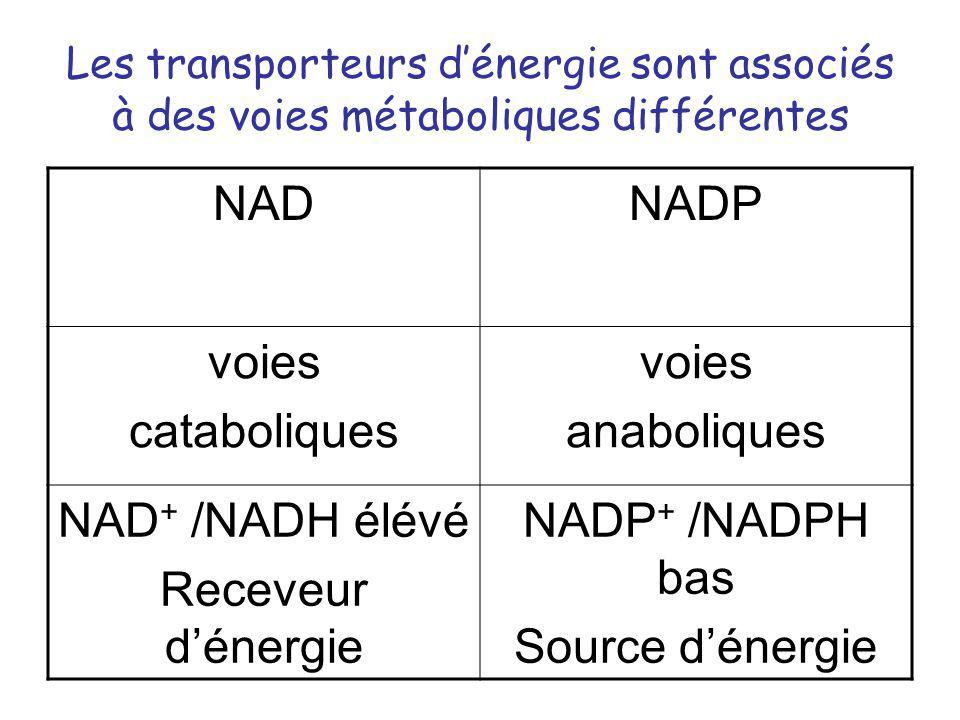 Les transporteurs dénergie sont associés à des voies métaboliques différentes NADNADP voies cataboliques voies anaboliques NAD + /NADH élévé Receveur