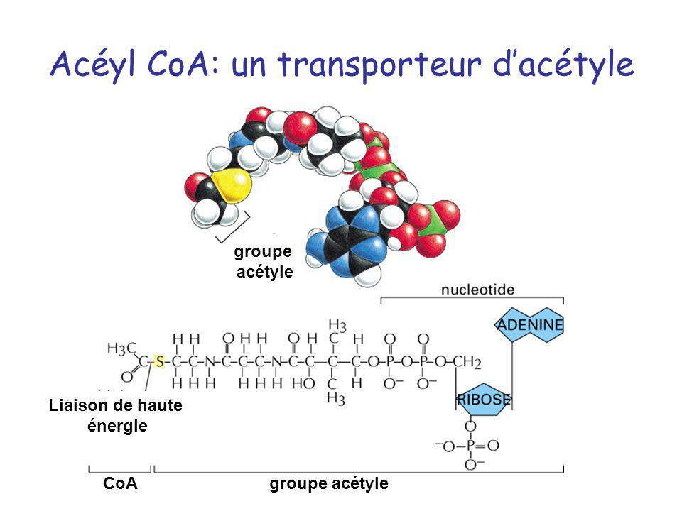 Acéyl CoA: un transporteur dacétyle groupe acétyle CoAgroupe acétyle Liaison de haute énergie