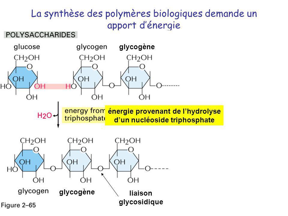 La synthèse des polymères biologiques demande un apport dénergie énergie provenant de lhydrolyse dun nucléoside triphosphate glycogène liaison glycosi