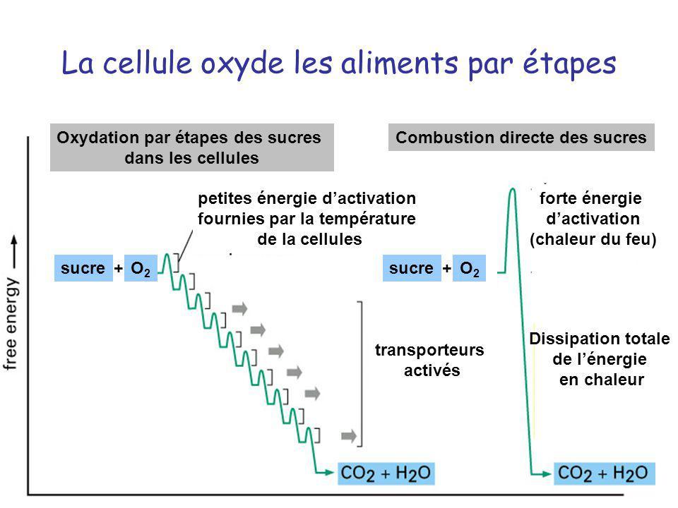 La cellule oxyde les aliments par étapes Oxydation par étapes des sucres dans les cellules Combustion directe des sucres petites énergie dactivation f