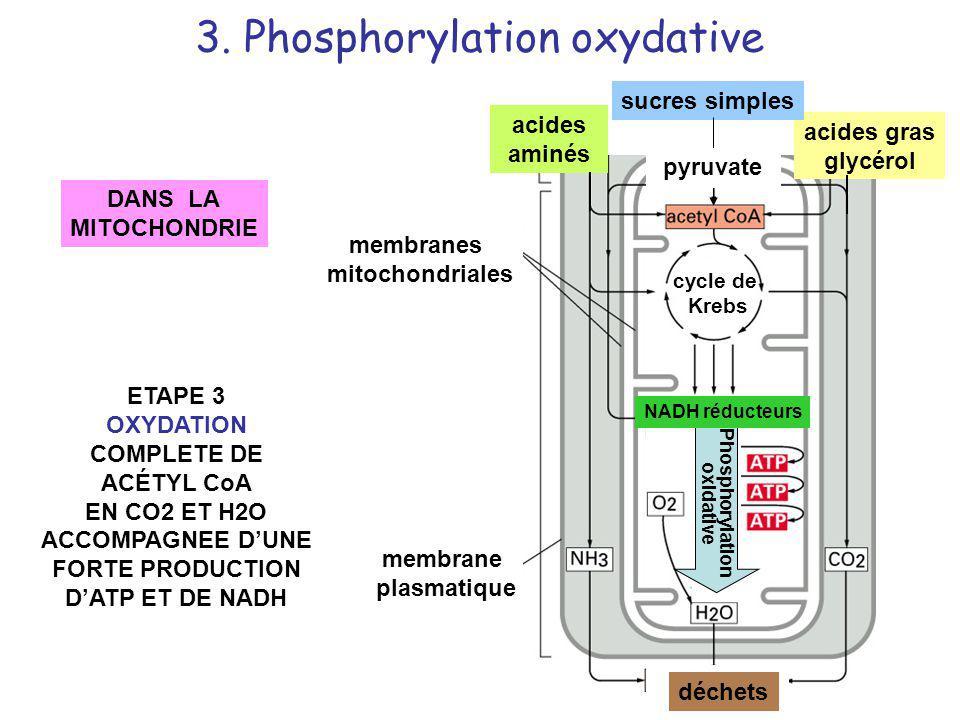 ETAPE 3 OXYDATION COMPLETE DE ACÉTYL CoA EN CO2 ET H2O ACCOMPAGNEE DUNE FORTE PRODUCTION DATP ET DE NADH DANS LA MITOCHONDRIE membranes mitochondriale