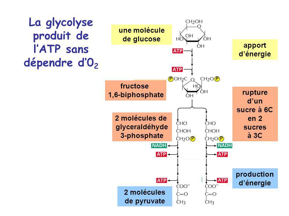La glycolyse produit de lATP sans dépendre d0 2 une molécule de glucose fructose 1,6-biphosphate 2 molécules de glyceraldéhyde 3-phosphate 2 molécules