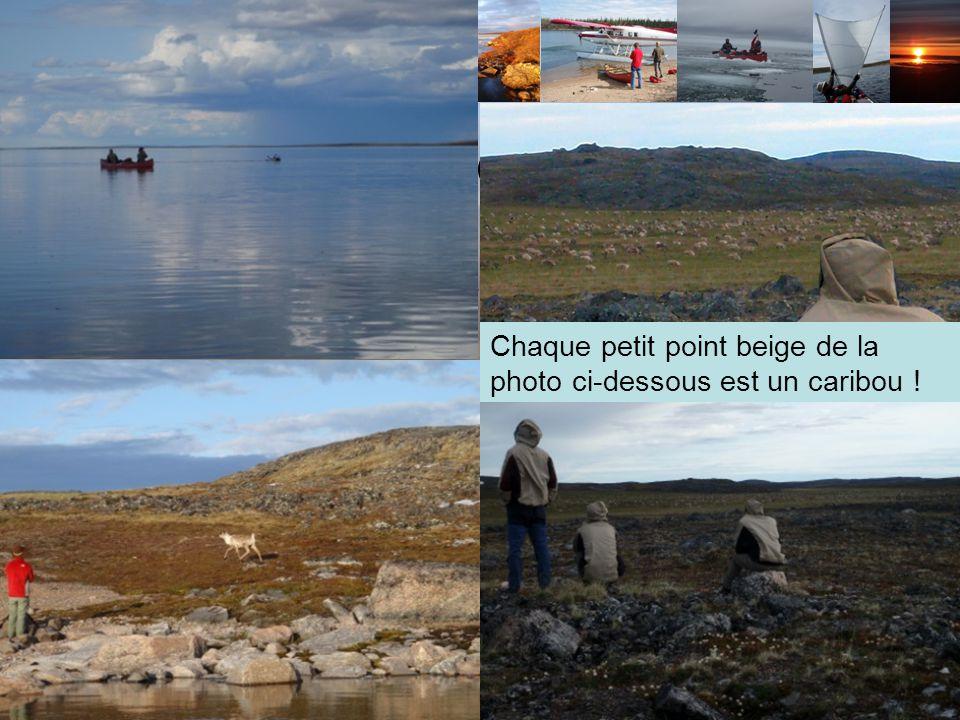 La Migration des Caribous Près de 300 000 bêtes vivent autour de la Back River Les caribous sont dexcellents nageurs Ils se déplacent en horde allant