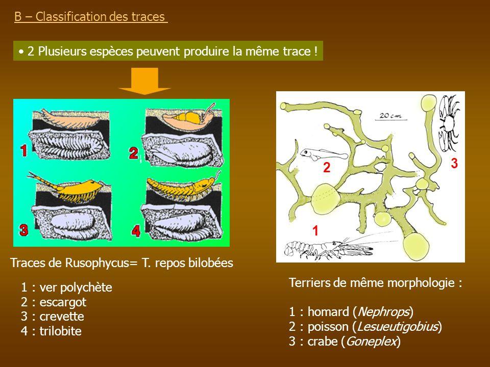B – Classification des traces 2 Plusieurs espèces peuvent produire la même trace ! 1 2 3 Traces de Rusophycus= T. repos bilobées 1 : ver polychète 2 :