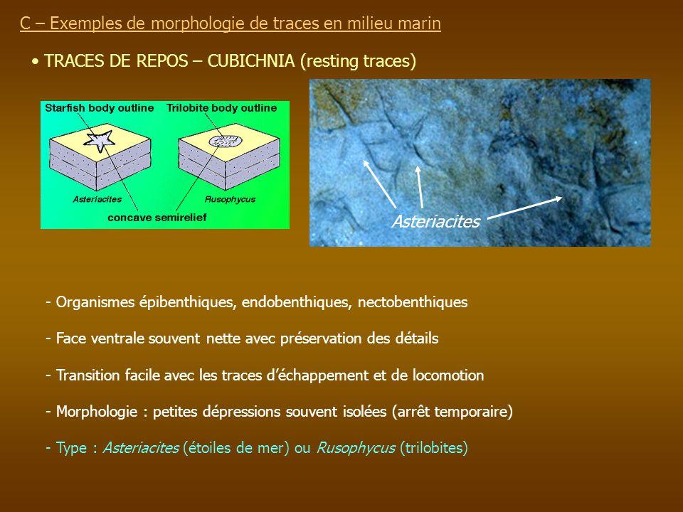 TRACES DE REPOS – CUBICHNIA (resting traces) - Organismes épibenthiques, endobenthiques, nectobenthiques - Face ventrale souvent nette avec préservati