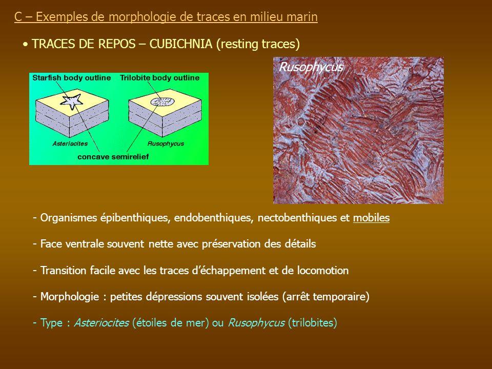 TRACES DE REPOS – CUBICHNIA (resting traces) - Organismes épibenthiques, endobenthiques, nectobenthiques et mobiles - Face ventrale souvent nette avec
