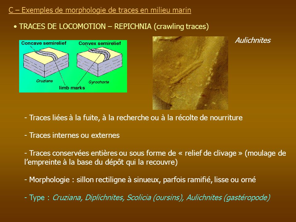 TRACES DE LOCOMOTION – REPICHNIA (crawling traces) C – Exemples de morphologie de traces en milieu marin - Traces liées à la fuite, à la recherche ou