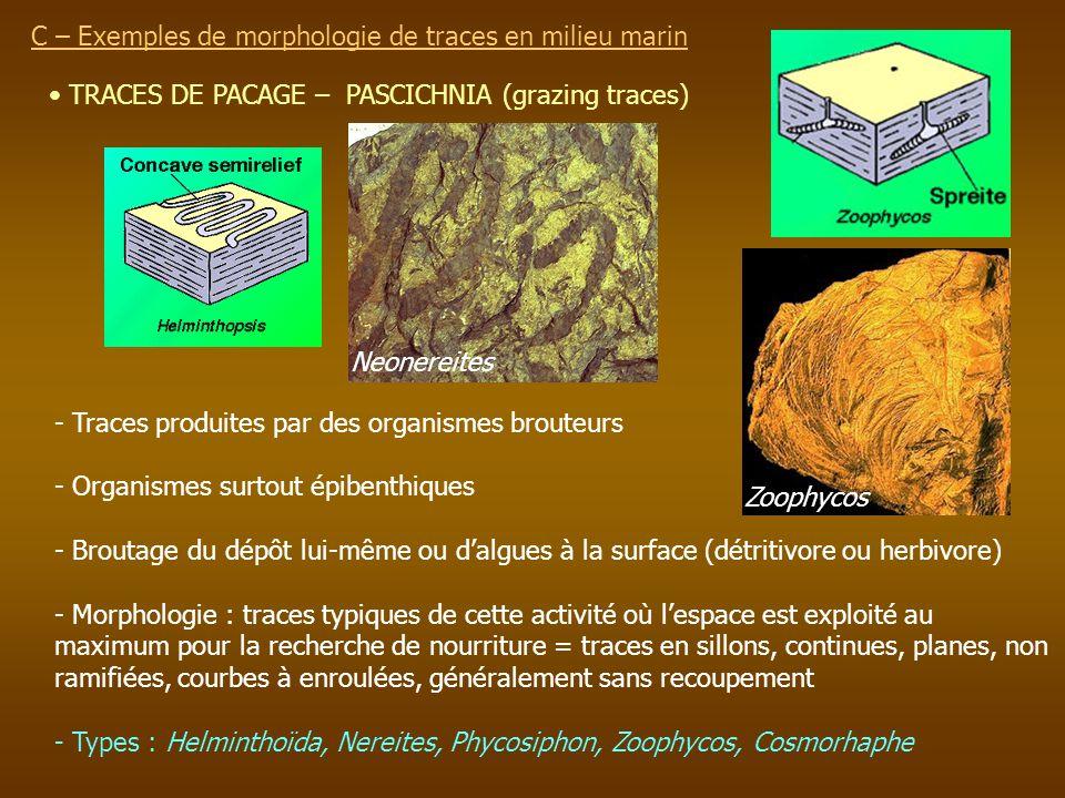 TRACES DE PACAGE – PASCICHNIA (grazing traces) C – Exemples de morphologie de traces en milieu marin - Traces produites par des organismes brouteurs -