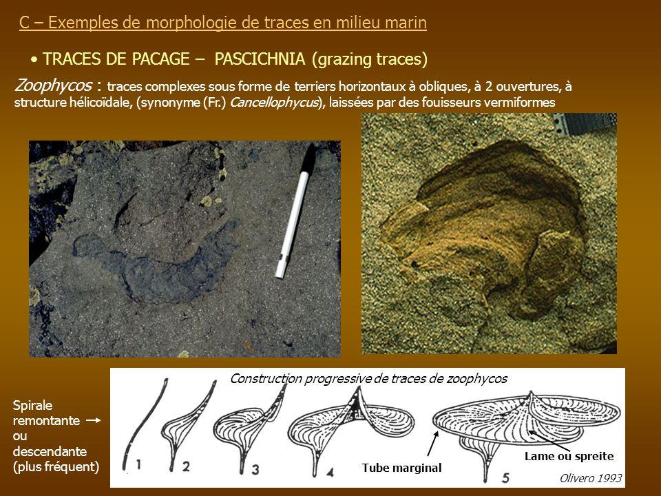 TRACES DE PACAGE – PASCICHNIA (grazing traces) C – Exemples de morphologie de traces en milieu marin Zoophycos : traces complexes sous forme de terrie