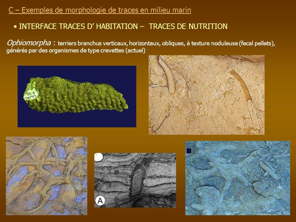 INTERFACE TRACES D HABITATION – TRACES DE NUTRITION C – Exemples de morphologie de traces en milieu marin Ophiomorpha : terriers branchus verticaux, h