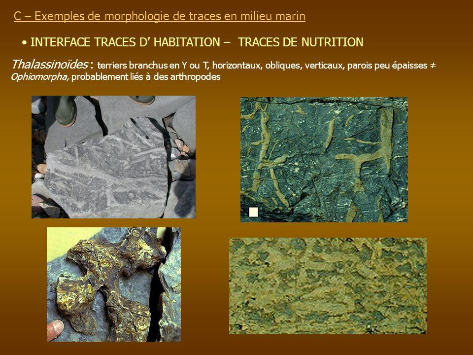 INTERFACE TRACES D HABITATION – TRACES DE NUTRITION C – Exemples de morphologie de traces en milieu marin Thalassinoïdes : terriers branchus en Y ou T