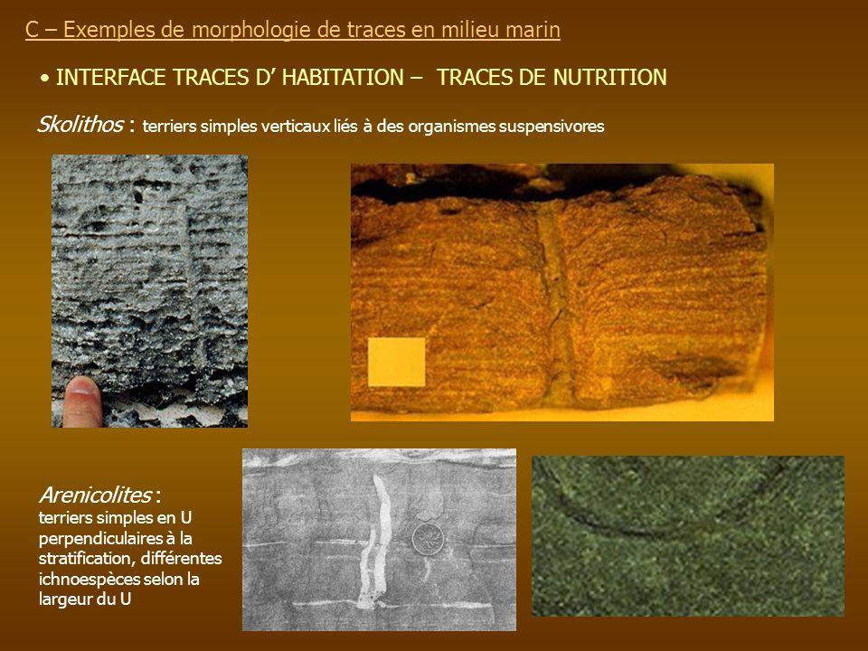 INTERFACE TRACES D HABITATION – TRACES DE NUTRITION C – Exemples de morphologie de traces en milieu marin Skolithos : terriers simples verticaux liés