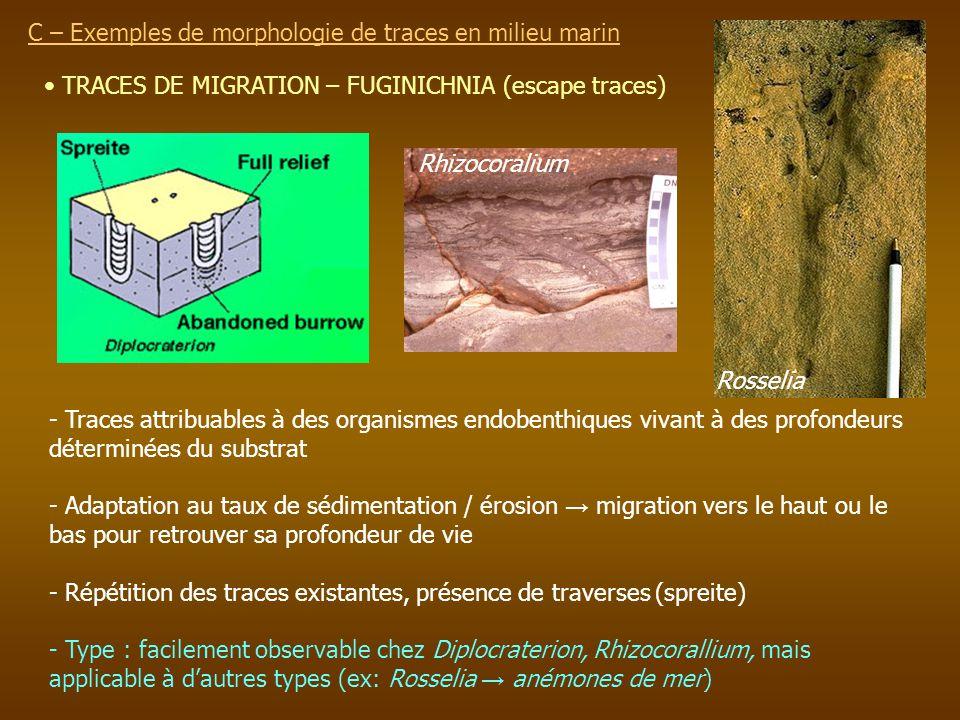 TRACES DE MIGRATION – FUGINICHNIA (escape traces) C – Exemples de morphologie de traces en milieu marin - Traces attribuables à des organismes endoben