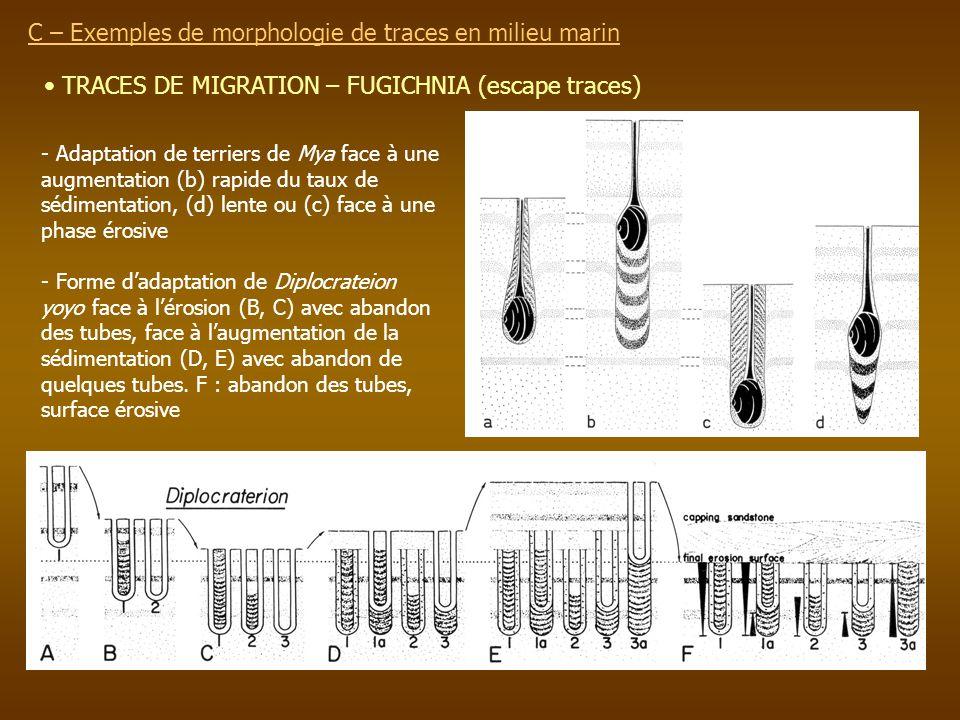 TRACES DE MIGRATION – FUGICHNIA (escape traces) C – Exemples de morphologie de traces en milieu marin - Adaptation de terriers de Mya face à une augme