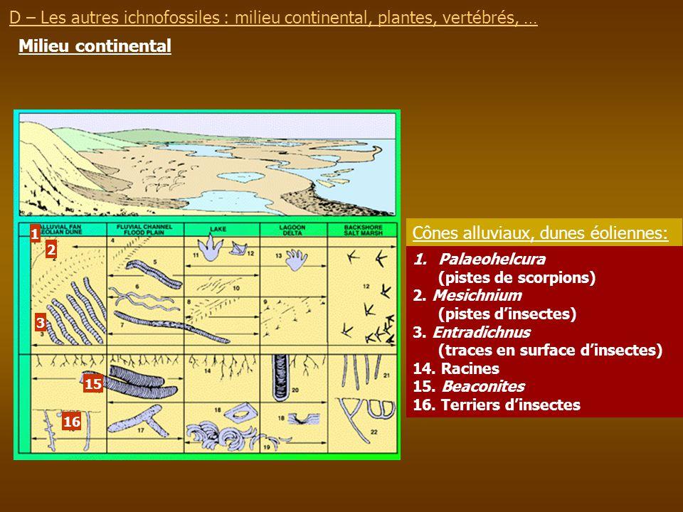 D – Les autres ichnofossiles : milieu continental, plantes, vertébrés, … Milieu continental 1 2 3 1.Palaeohelcura (pistes de scorpions) 2. Mesichnium