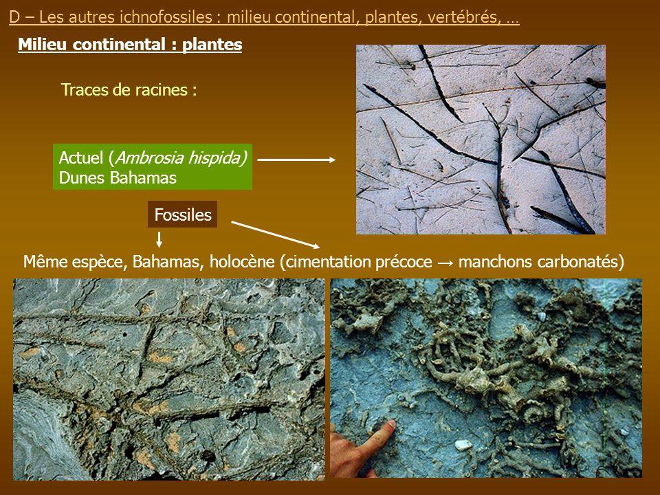 Milieu continental : plantes Traces de racines : Actuel (Ambrosia hispida) Dunes Bahamas Fossiles Même espèce, Bahamas, holocène (cimentation précoce