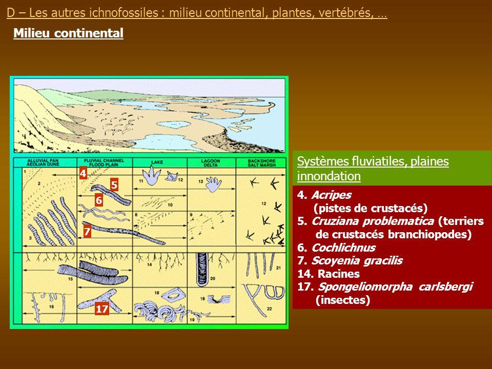 Milieu continental 4. Acripes (pistes de crustacés) 5. Cruziana problematica (terriers de crustacés branchiopodes) 6. Cochlichnus 7. Scoyenia gracilis