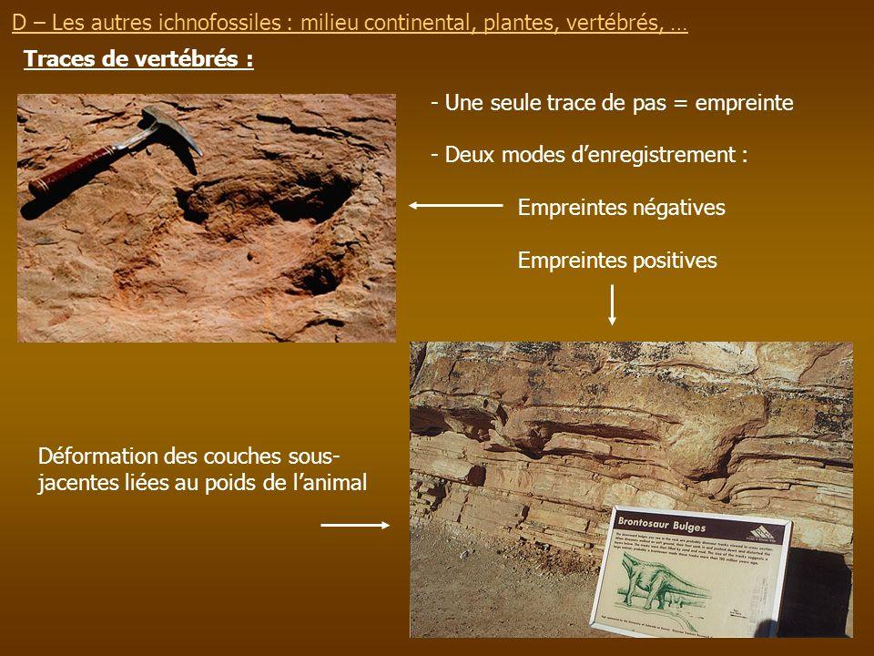 D – Les autres ichnofossiles : milieu continental, plantes, vertébrés, … Traces de vertébrés : - Une seule trace de pas = empreinte - Deux modes denre