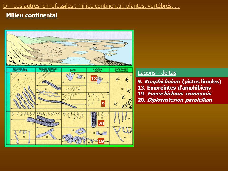 Milieu continental 9. Kouphichnium (pistes limules) 13. Empreintes damphibiens 19. Fuerschichnus communis 20. Diplocraterion paralellum Lagons - delta