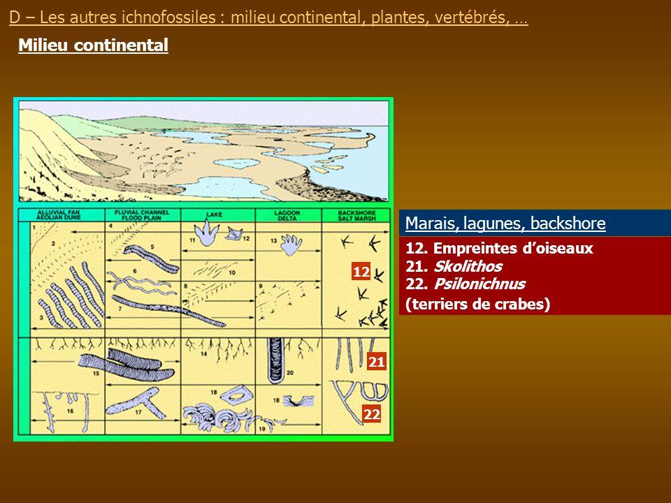 Milieu continental 12. Empreintes doiseaux 21. Skolithos 22. Psilonichnus (terriers de crabes) Marais, lagunes, backshore D – Les autres ichnofossiles