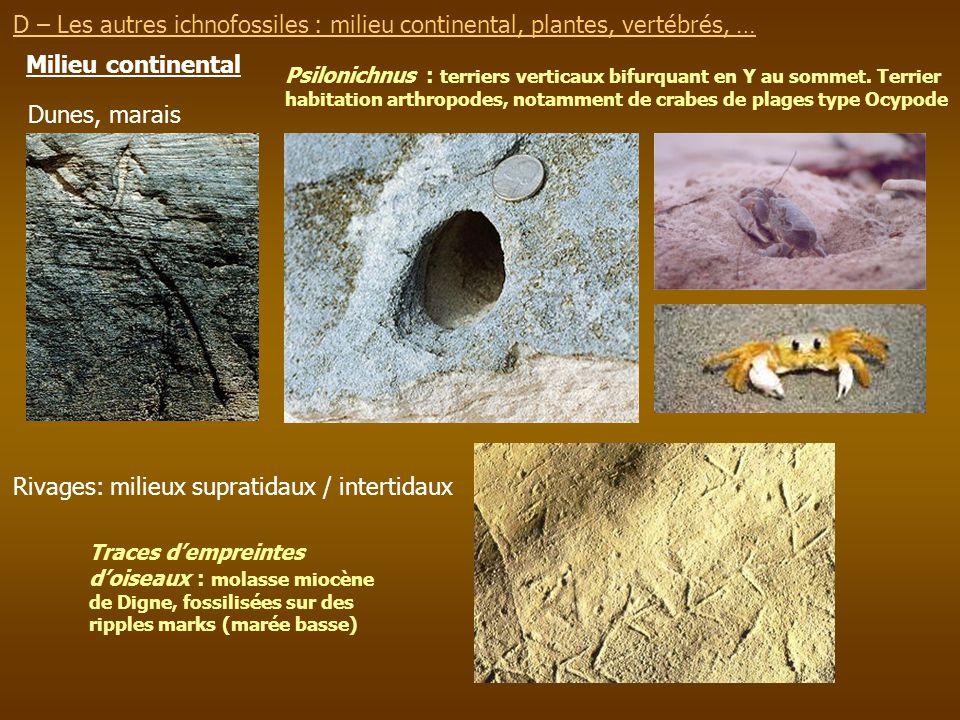 Milieu continental D – Les autres ichnofossiles : milieu continental, plantes, vertébrés, … Psilonichnus : terriers verticaux bifurquant en Y au somme