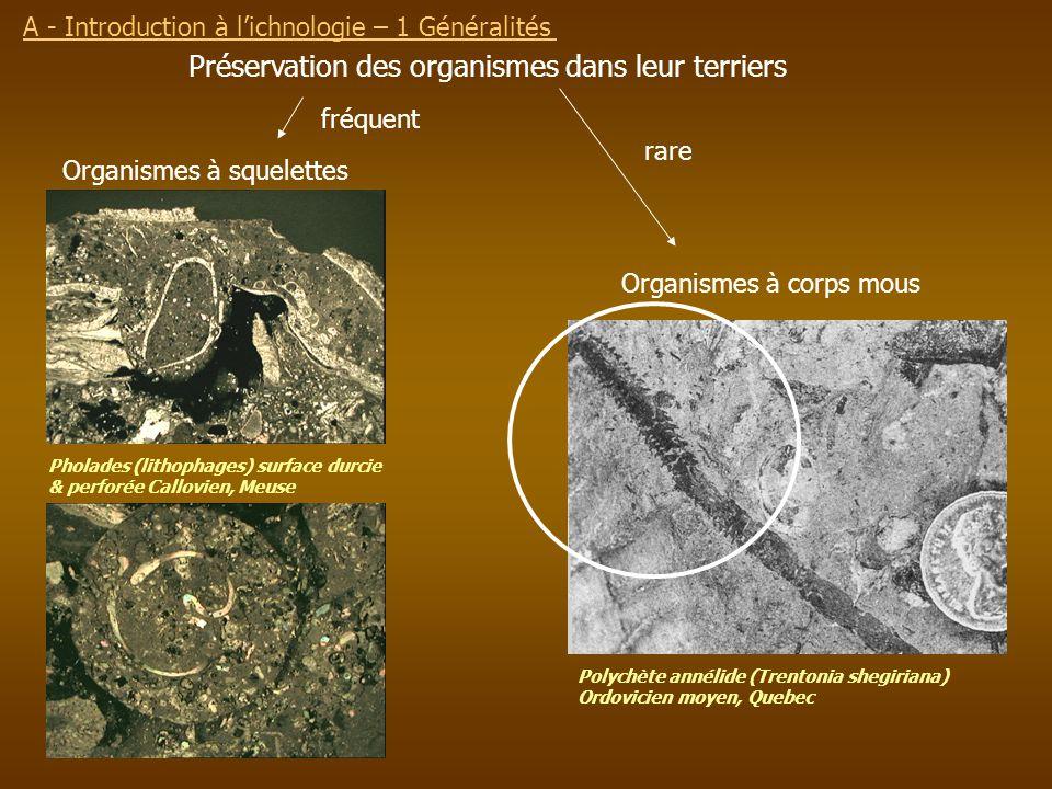 Préservation des organismes dans leur terriers Organismes à squelettes Organismes à corps mous fréquent rare Pholades (lithophages) surface durcie & p