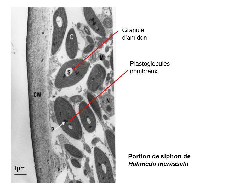 1µm Granule damidon Plastoglobules nombreux Portion de siphon de Halimeda incrassata