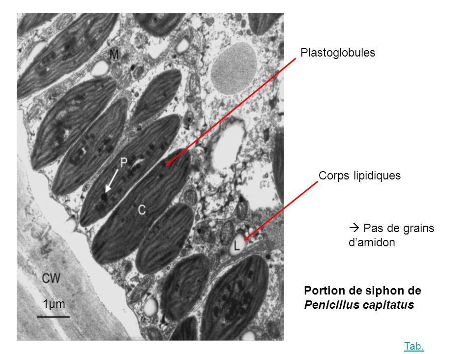1µm Plastoglobules Pas de grains damidon Corps lipidiques Portion de siphon de Penicillus capitatus Tab.