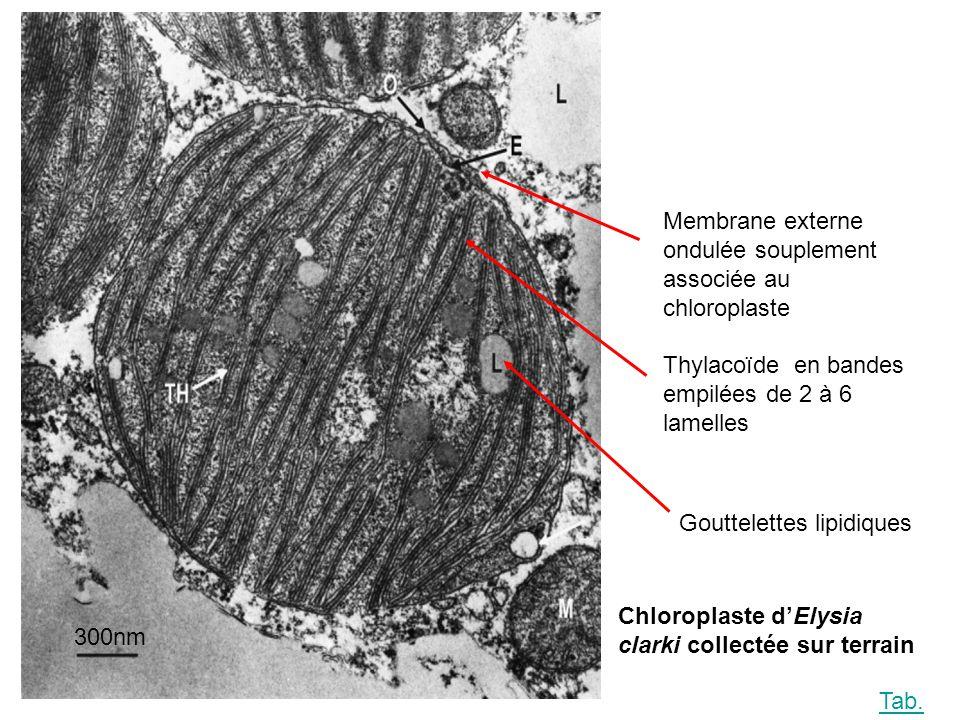 300nm Thylacoïde en bandes empilées de 2 à 6 lamelles Gouttelettes lipidiques Membrane externe ondulée souplement associée au chloroplaste Chloroplaste dElysia clarki collectée sur terrain Tab.